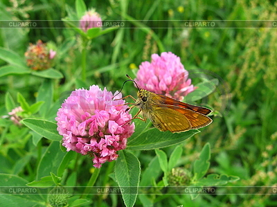 Mały motyl na kwiat koniczyny | Foto stockowe wysokiej rozdzielczości |ID 3012589
