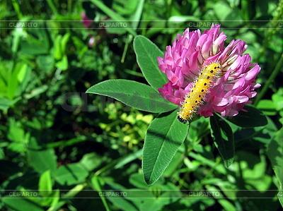 Kleine gelbe Raupe auf Kleeblume | Foto mit hoher Auflösung |ID 3012592