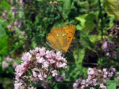 Бабочка на сиреневых цветах | Фото большого размера |ID 3012595