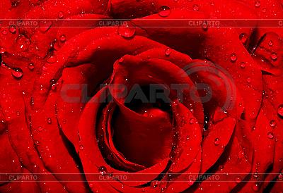 Dunkle rote Rose mit Wassertropfen | Foto mit hoher Auflösung |ID 3013430