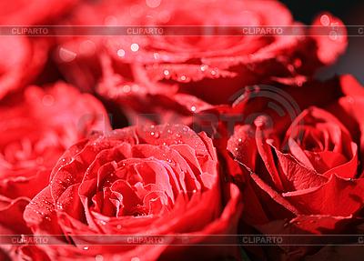 暗红色的玫瑰与水滴 | 高分辨率照片 |ID 3015792
