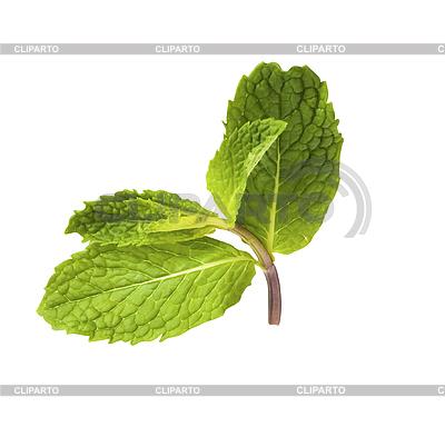Frische grüne Minze | Foto mit hoher Auflösung |ID 3015852