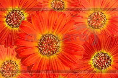 非洲菊花卉背景 | 高分辨率照片 |ID 3018165