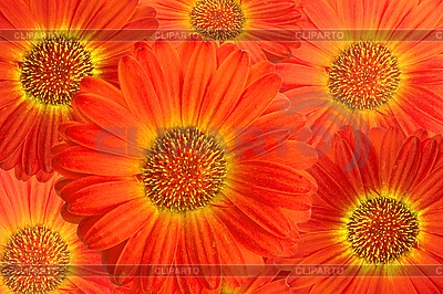 Gerbera 꽃 배경 | 높은 해상도 사진 |ID 3018165