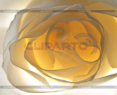 Piękne biało-żółta róża | Foto stockowe wysokiej rozdzielczości |ID 3018655