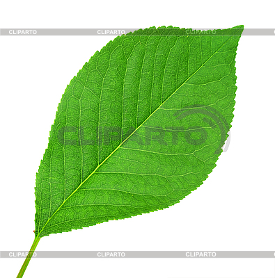 Grünes Blatt von Kirschbaum | Foto mit hoher Auflösung |ID 3033090