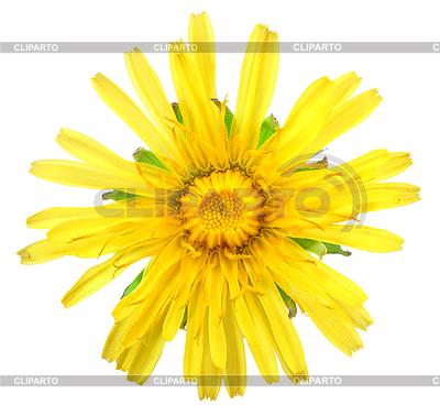 Eine gelbe Blume von Löwenzahn | Foto mit hoher Auflösung |ID 3033266