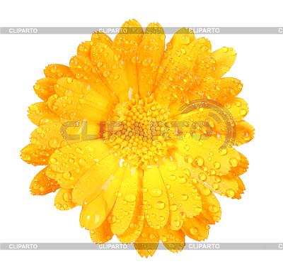 Цветок календулы с каплями росы | Фото большого размера |ID 3033276