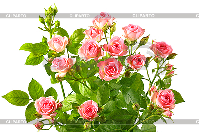 Bush z różowych róż i zielonych liści | Foto stockowe wysokiej rozdzielczości |ID 3033307