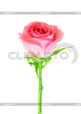 Розовый бутон розы на зеленом стебле