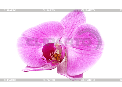 Rosa Orchidee | Foto mit hoher Auflösung |ID 3014017