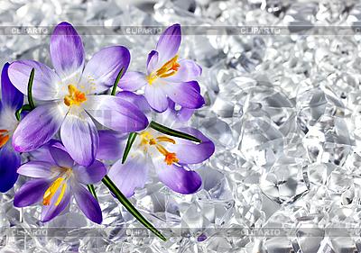 Crocus kwiaty w lodzie | Foto stockowe wysokiej rozdzielczości |ID 3014566