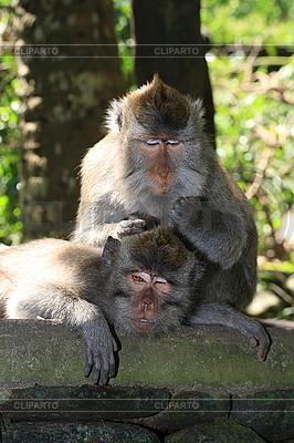 Affe pflegt anderen Affe | Foto mit hoher Auflösung |ID 3015413
