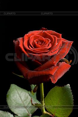 Czerwona róża z kropli wody na czarnym | Foto stockowe wysokiej rozdzielczości |ID 3015467