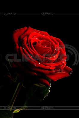 Czerwona róża z kropli wody samodzielnie na czarny | Foto stockowe wysokiej rozdzielczości |ID 3015475