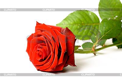 Rote Rose auf Weiß | Foto mit hoher Auflösung |ID 3015482