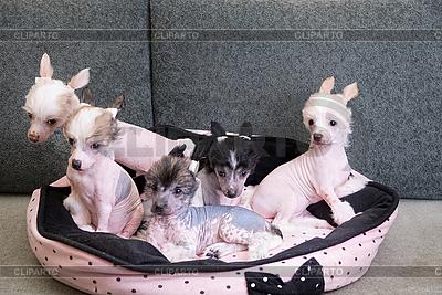 Щенки китайской хохлатой собаки | Фото большого размера |ID 3021190