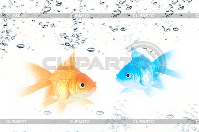 Gold and blue fishes | Foto stockowe wysokiej rozdzielczości |ID 3030362
