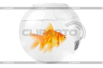 Gold-Fisch am Aquarium | Foto mit hoher Auflösung |ID 3030366