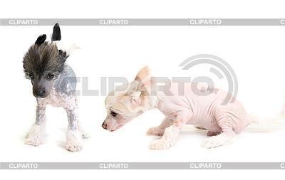 Chiński grzywacz szczeniak | Foto stockowe wysokiej rozdzielczości |ID 3031199