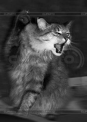 시베리아 고양이의 공격 | 높은 해상도 사진 |ID 3032012