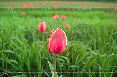 Rote Tulpe auf der grünen Wiese | Foto mit hoher Auflösung |ID 3023211