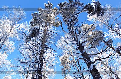 Заснеженный зимние деревья на фоне