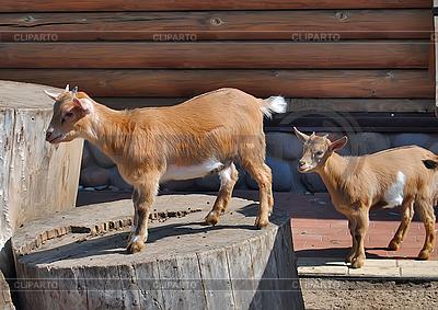 Brown goatlings | Foto stockowe wysokiej rozdzielczości |ID 3025028