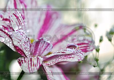 Tropfen Wasser auf einer Blume | Foto mit hoher Auflösung |ID 3031790