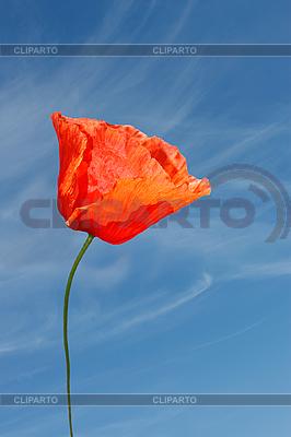 Rote Mohnblüte | Foto mit hoher Auflösung |ID 3066782