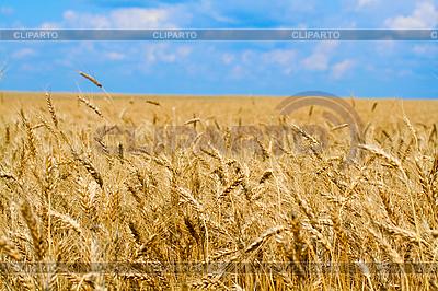 Weizenfeld | Foto mit hoher Auflösung |ID 3058164