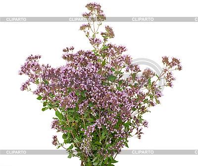 Лечебное растение Тимьян | Фото большого размера |ID 3040304