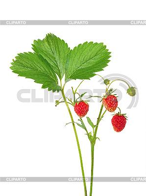 Erdbeeren am Stiel | Foto mit hoher Auflösung |ID 3044236