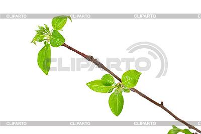 Apfelzweig mit grünen Knospen | Foto mit hoher Auflösung |ID 3044425