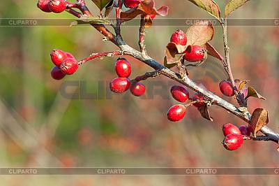 Herbstliche Beeren | Foto mit hoher Auflösung |ID 3107418