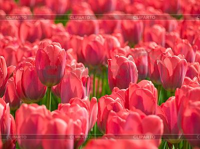 Tulipany | Foto stockowe wysokiej rozdzielczości |ID 3049274