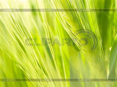 Grüne Weizenähre | Foto mit hoher Auflösung |ID 3049275