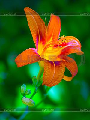 Orangefarbene Lilie | Foto mit hoher Auflösung |ID 3049325