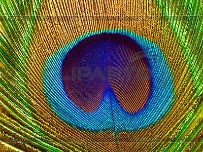Pfauenfeder | Foto mit hoher Auflösung |ID 3049356