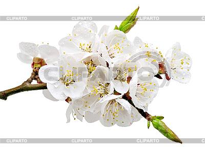 Kwiaty moreli | Foto stockowe wysokiej rozdzielczości |ID 3049582