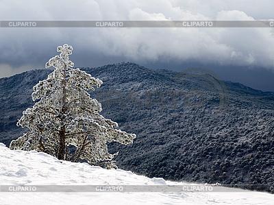 Kiefer im Schnee | Foto mit hoher Auflösung |ID 3117852