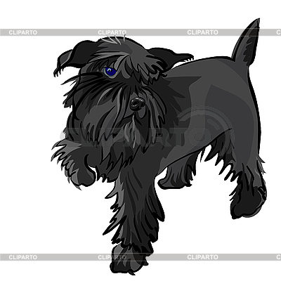 dog breed Miniature Schnauzer black - © kavalenkava