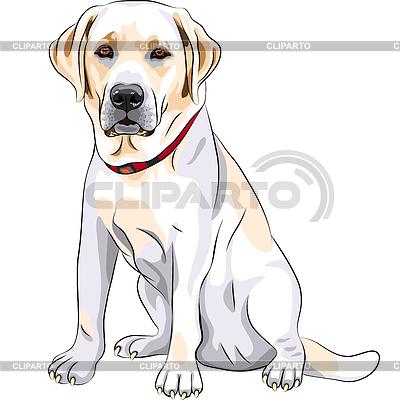 Szkic żółty pies rasy Labrador Retriever siedzi | Klipart wektorowy |ID 3345737