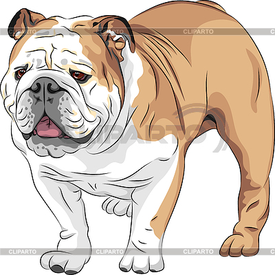 Skizze Hund der Rasse English Bulldog | Stock Vektorgrafik |ID 3360303