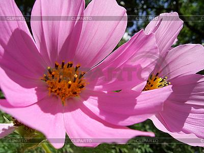 Sanfte rosa Blumen | Foto mit hoher Auflösung |ID 3054624