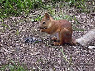 Eichhörnchen auf dem Boden | Foto mit hoher Auflösung |ID 3062821