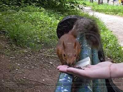 Eichhörnchen auf der Bank isst aus weiblicher Hand | Foto mit hoher Auflösung |ID 3062823