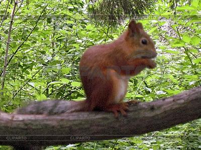 Eichhörnchen auf dem Ast | Foto mit hoher Auflösung |ID 3062824