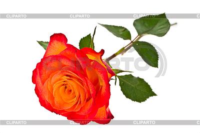 Róża | Foto stockowe wysokiej rozdzielczości |ID 3067845