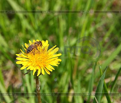 Пчела на желтом цветке одуванчика | Фото большого размера |ID 3067442